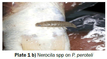 biology-Nerocila-spp