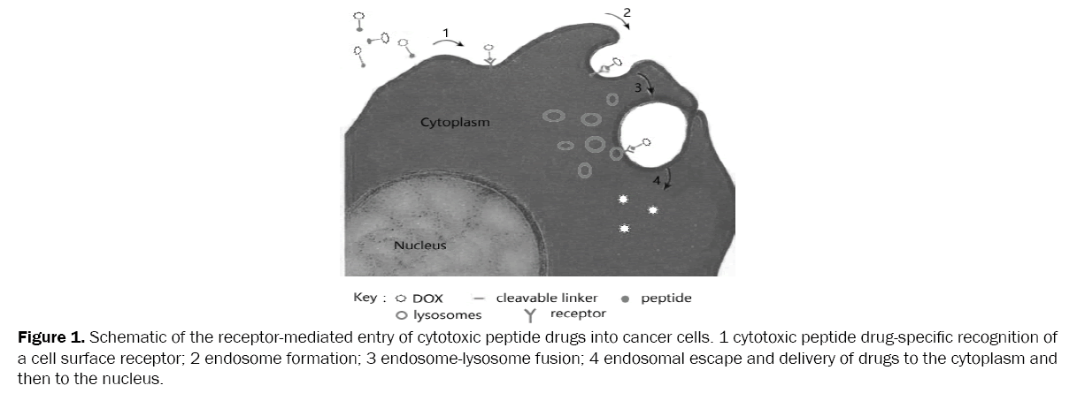 drug-delivery-cytotoxic-peptide-drugs