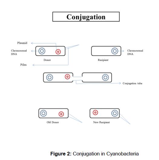 microbiology-biotechnology-Conjugation