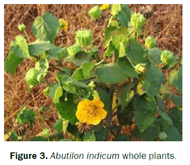 pharmacognosy-and-phytochemistry-Abutilon-indicum-whole-plants